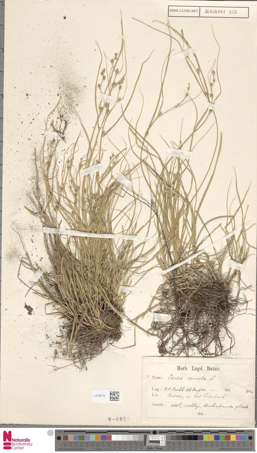 L.3140770 | Carex remota L.