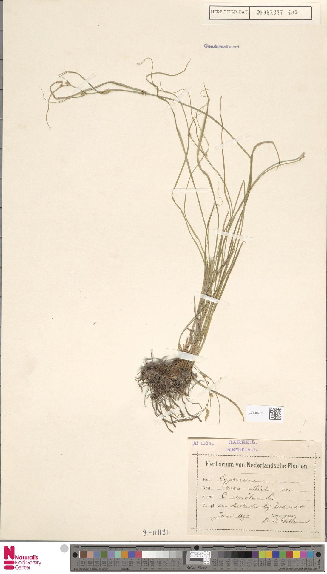 L.3140771 | Carex remota L.