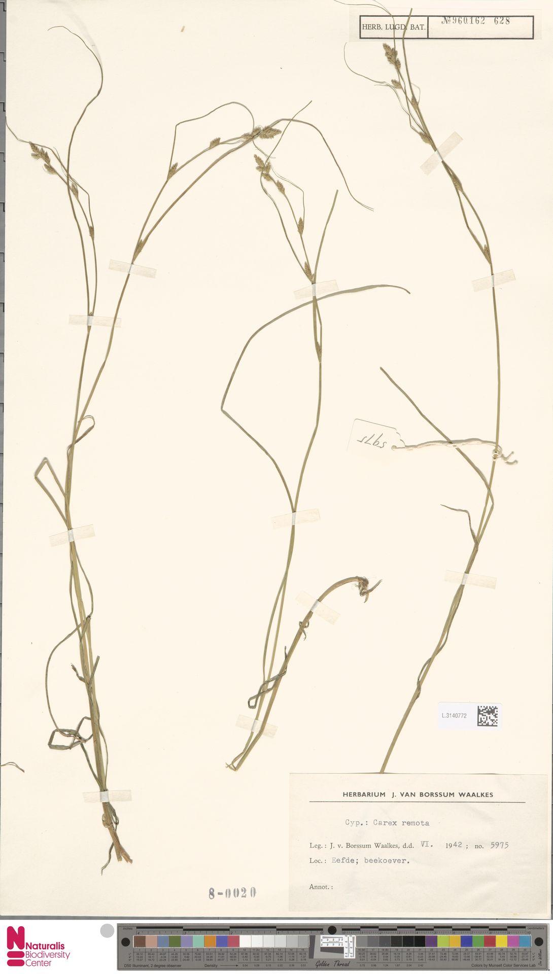 L.3140772 | Carex remota L.