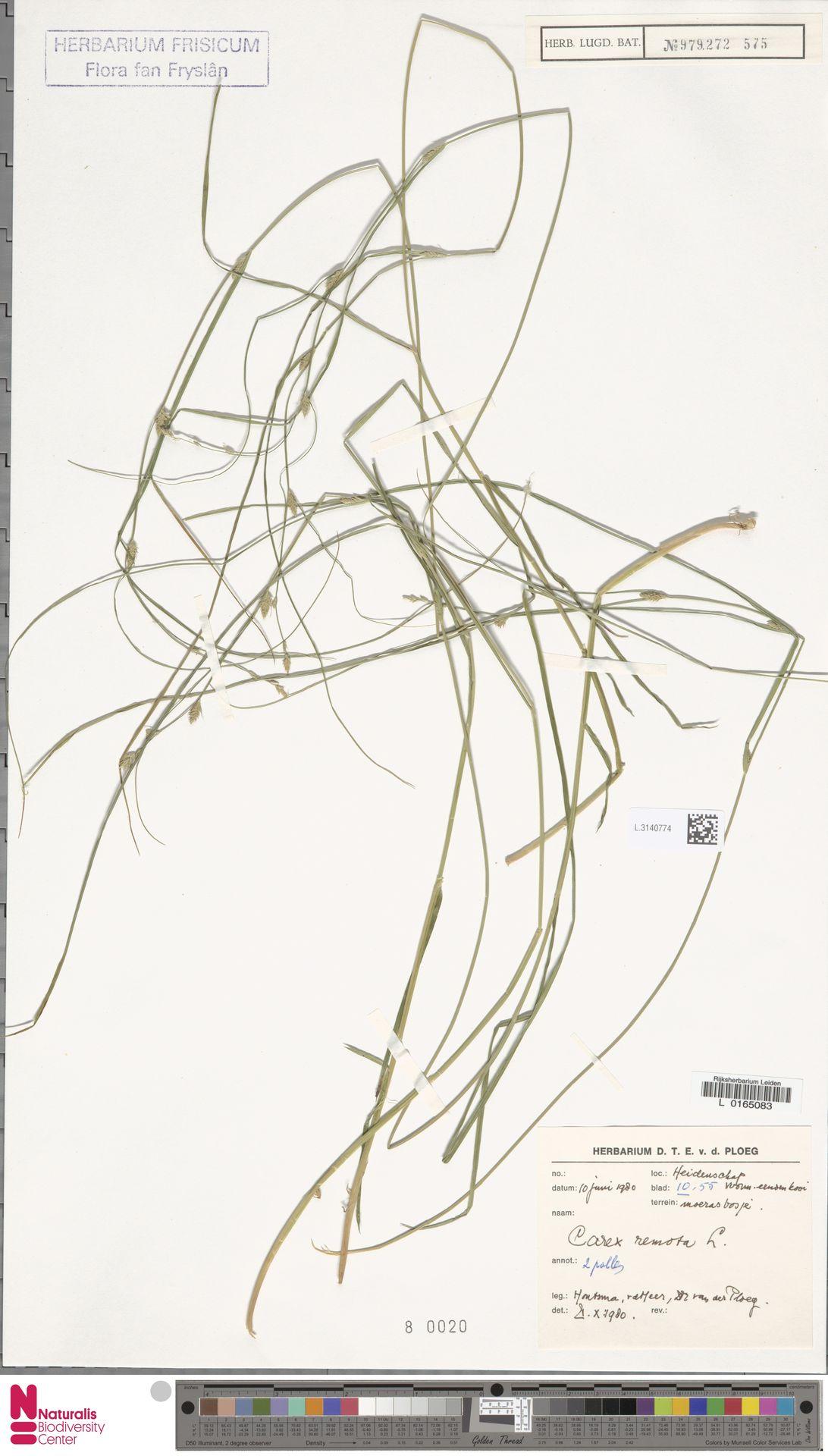 L.3140774 | Carex remota L.