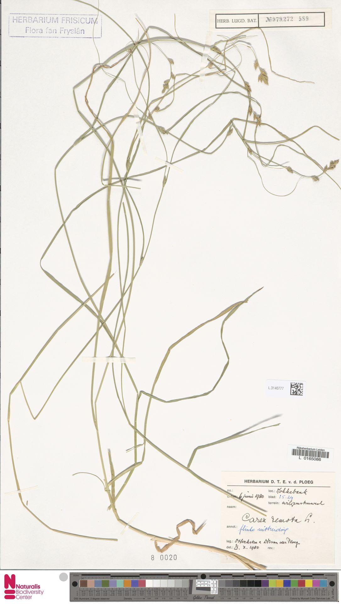 L.3140777 | Carex remota L.