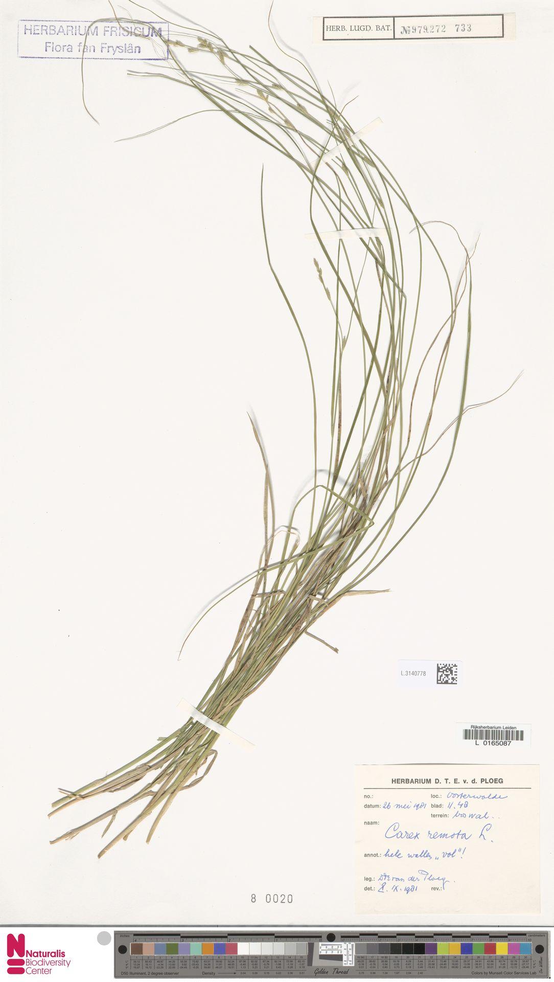 L.3140778 | Carex remota L.