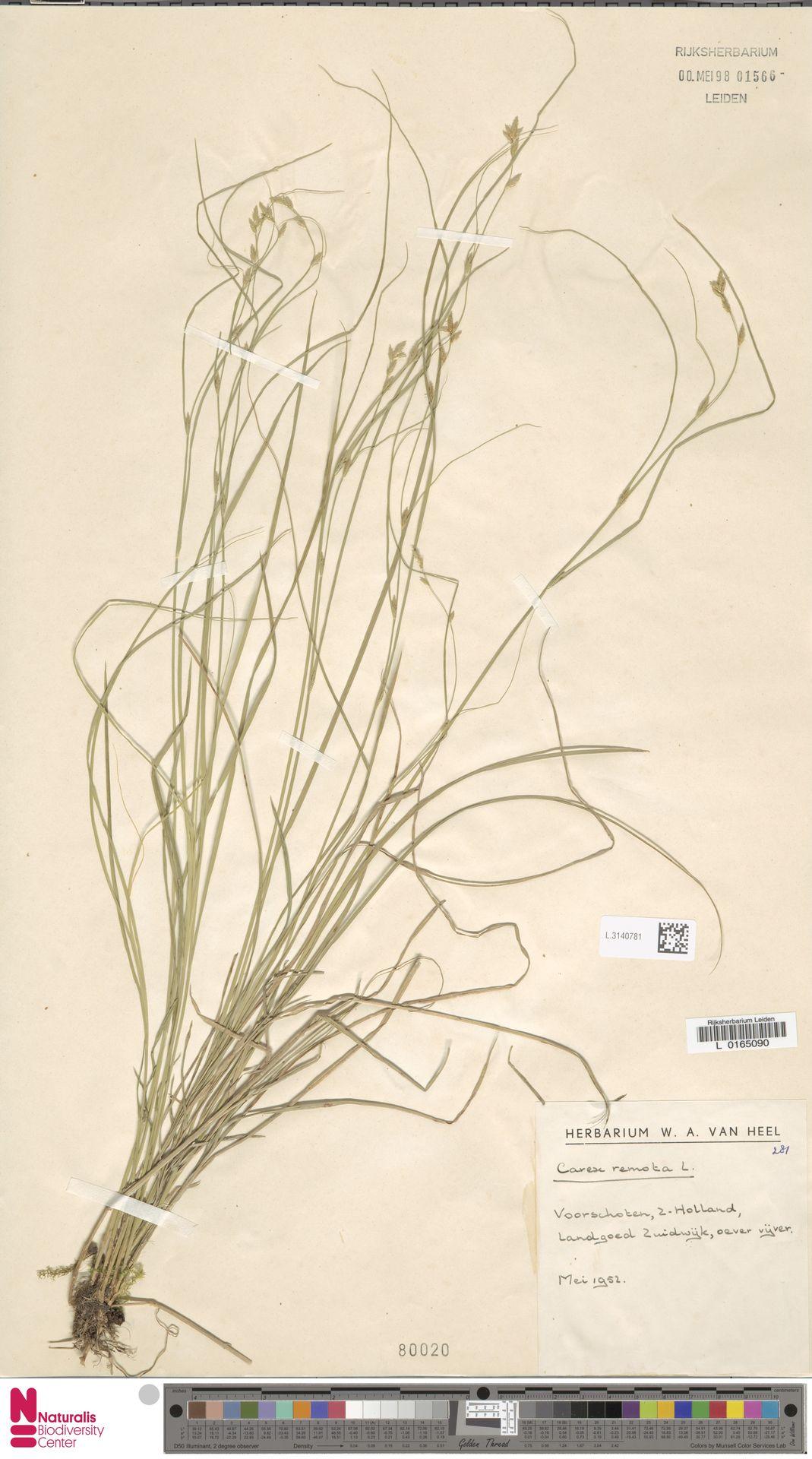 L.3140781 | Carex remota L.
