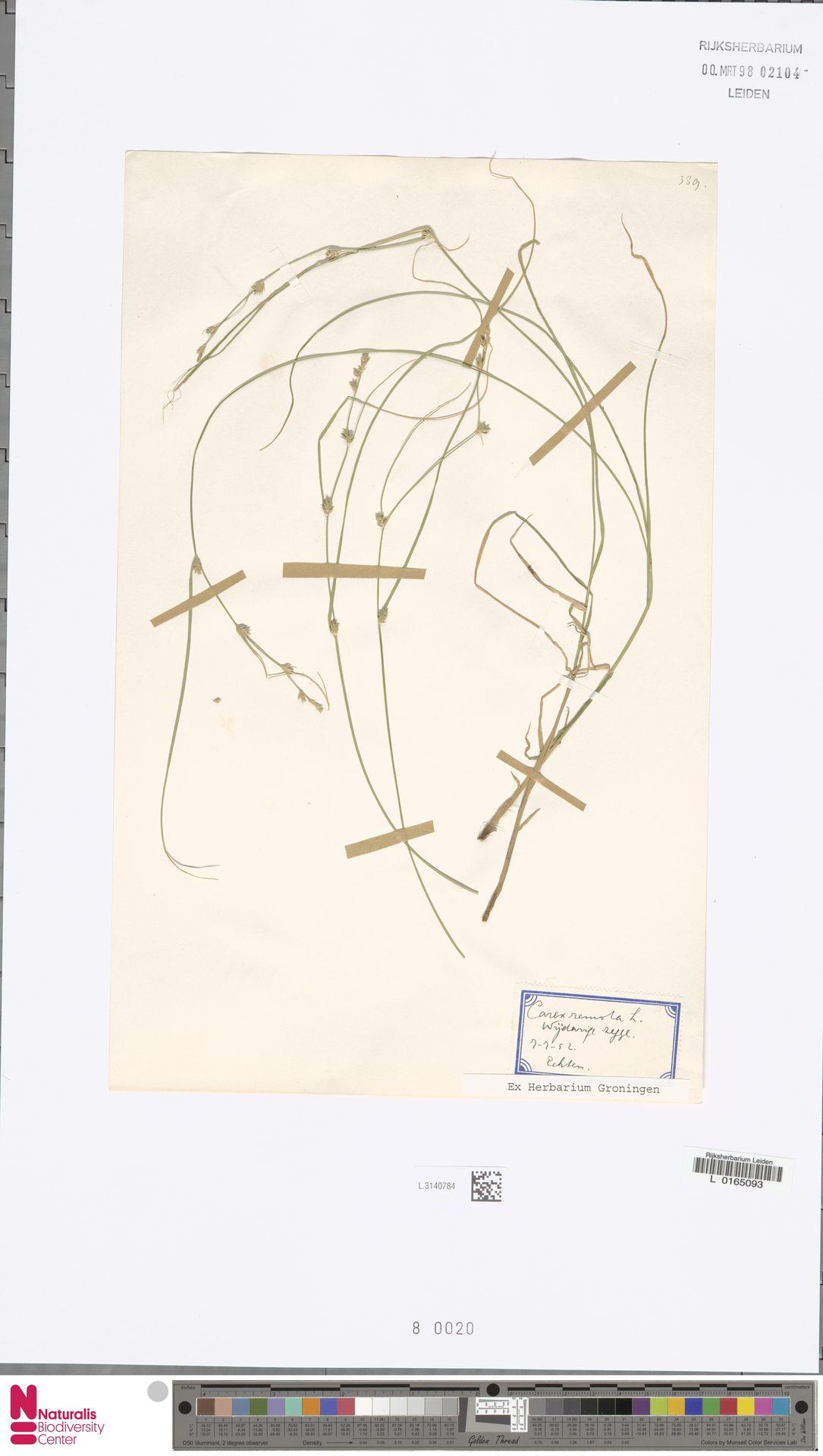 L.3140784 | Carex remota L.