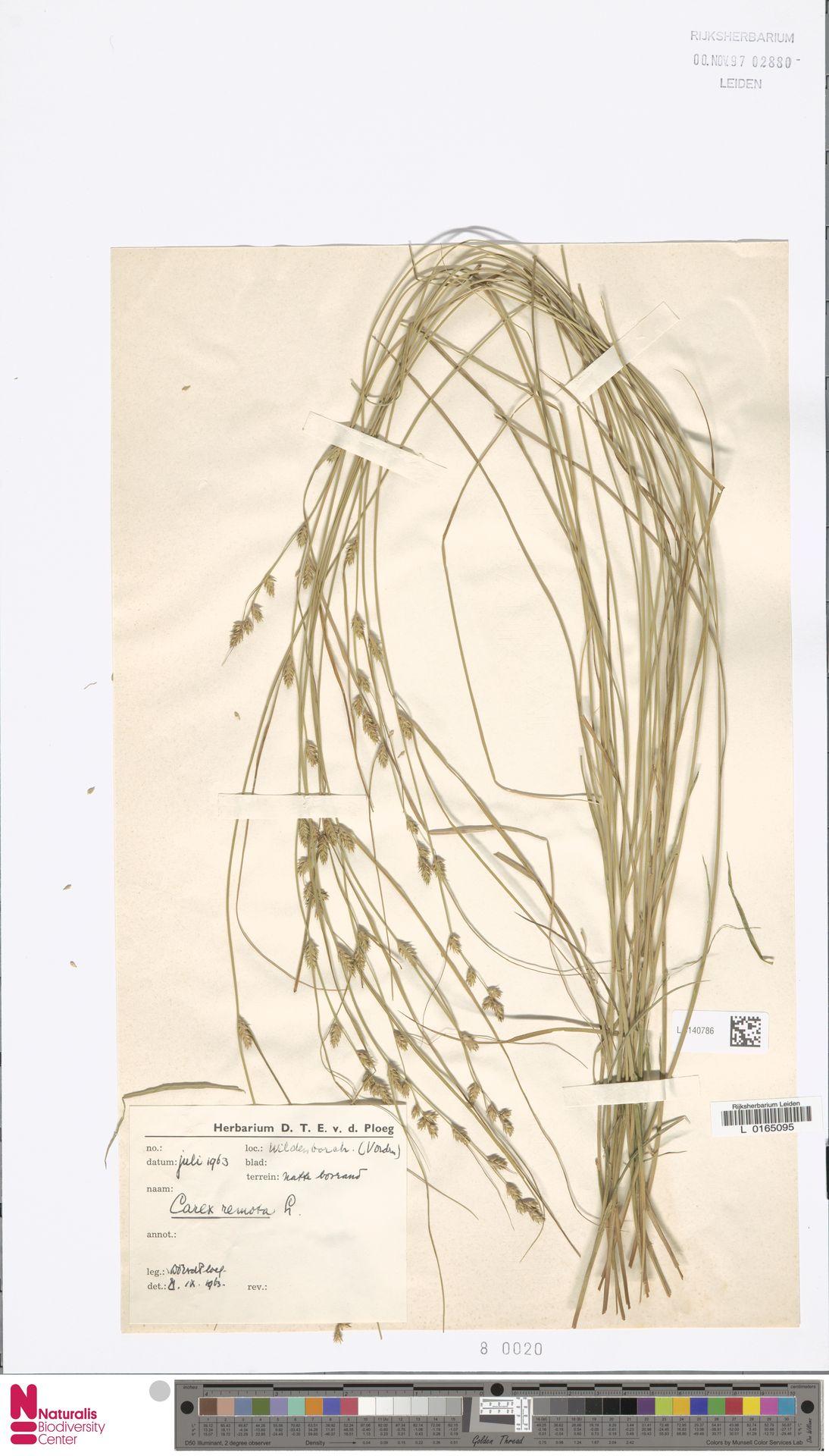 L.3140786 | Carex remota L.