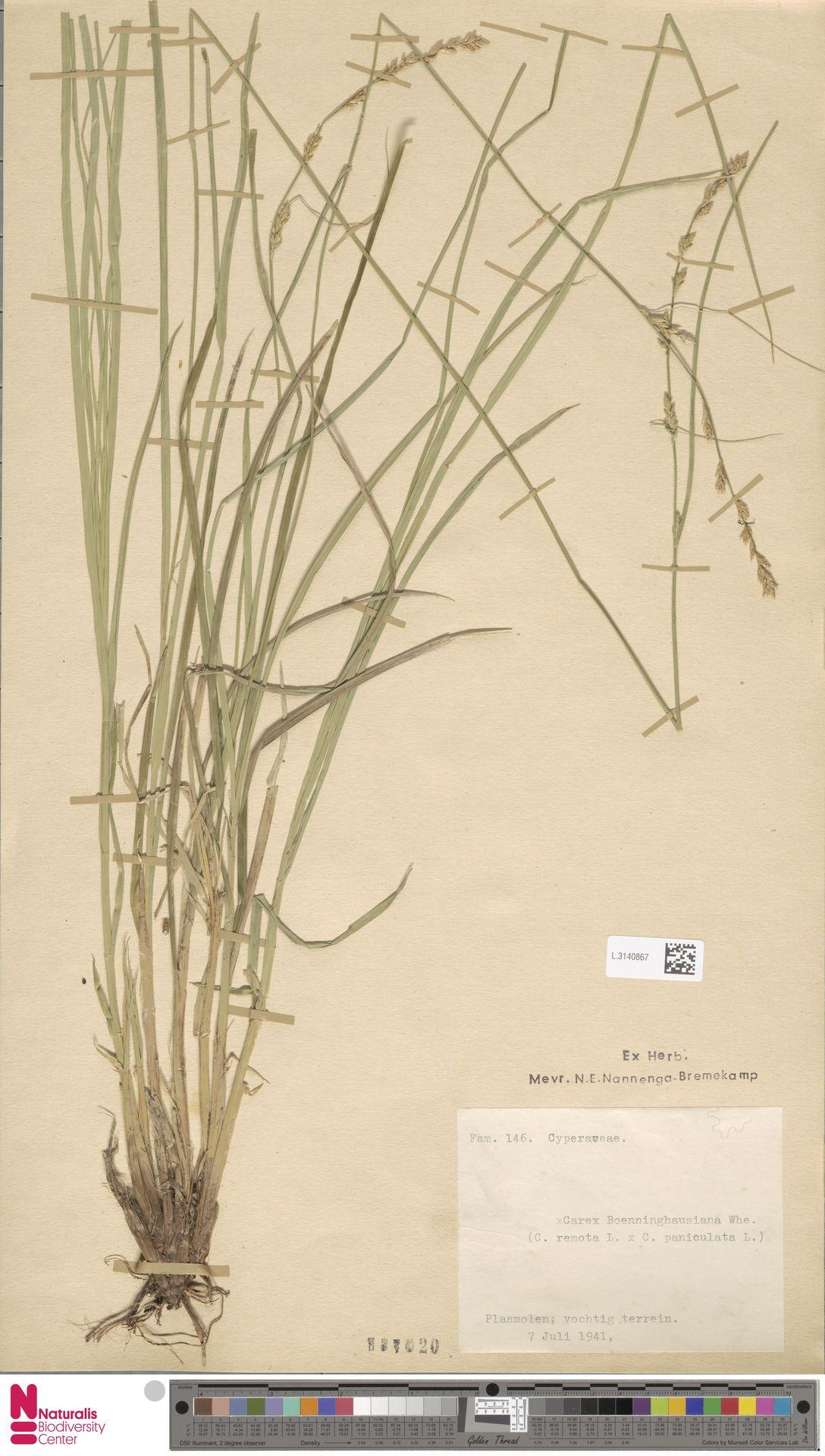 L.3140867 | Carex remota L.