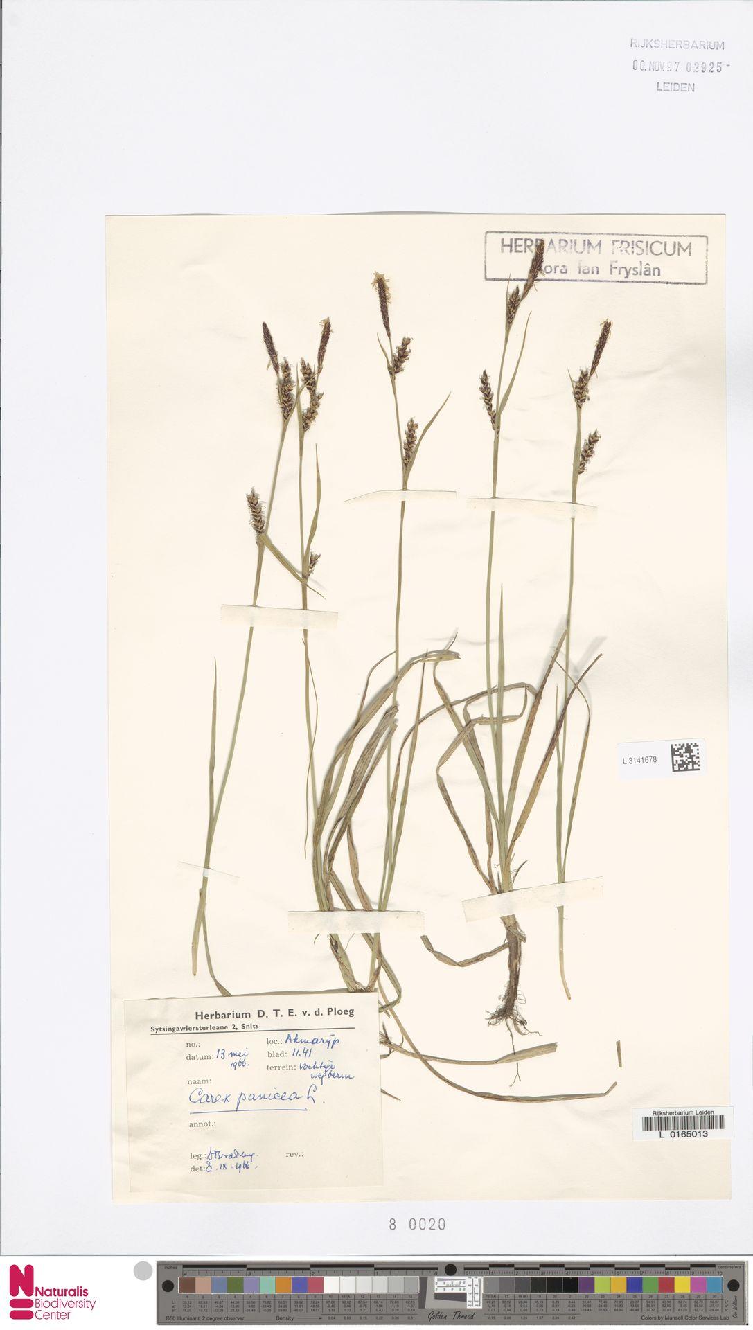 L.3141678 | Carex panicea L.
