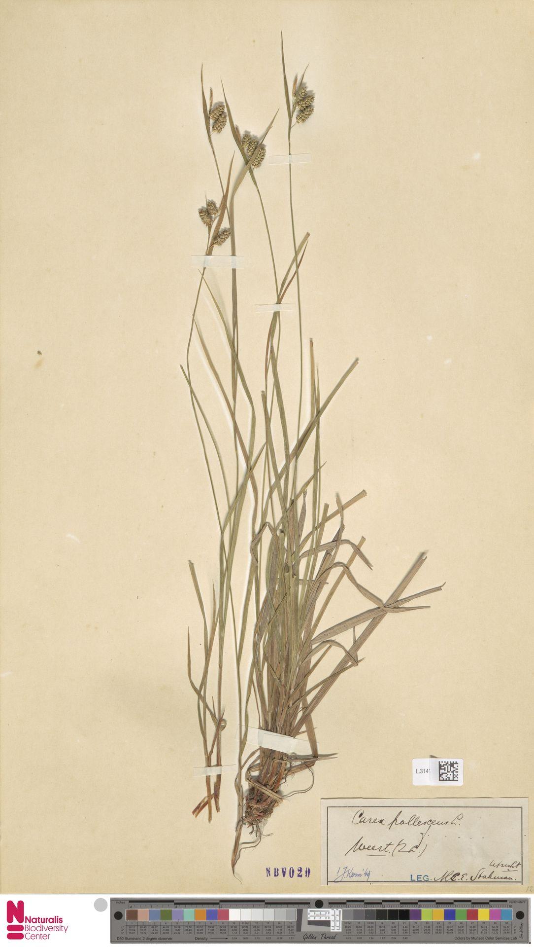 L.3141758 | Carex pallescens L.