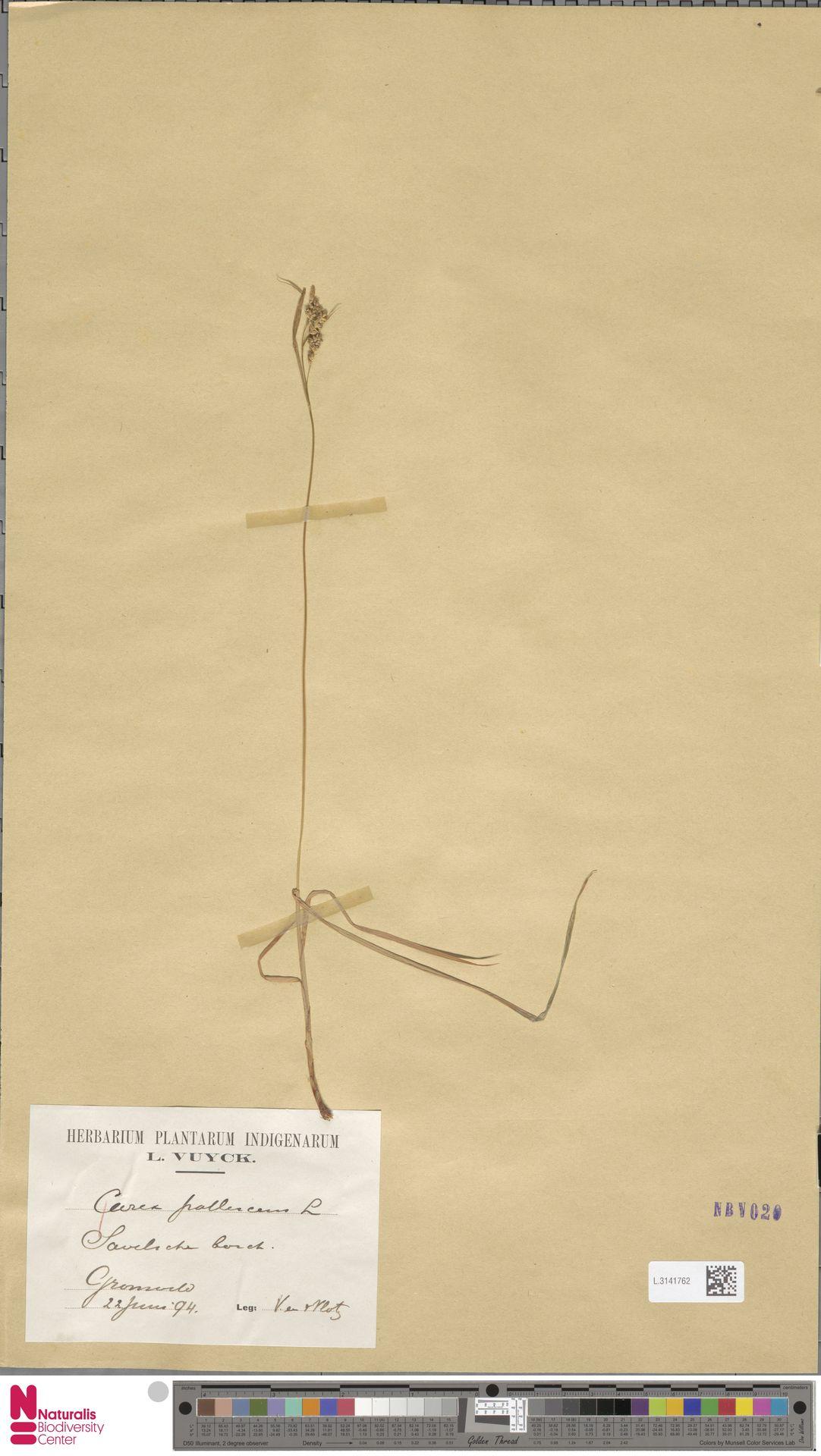 L.3141762 | Carex pallescens L.