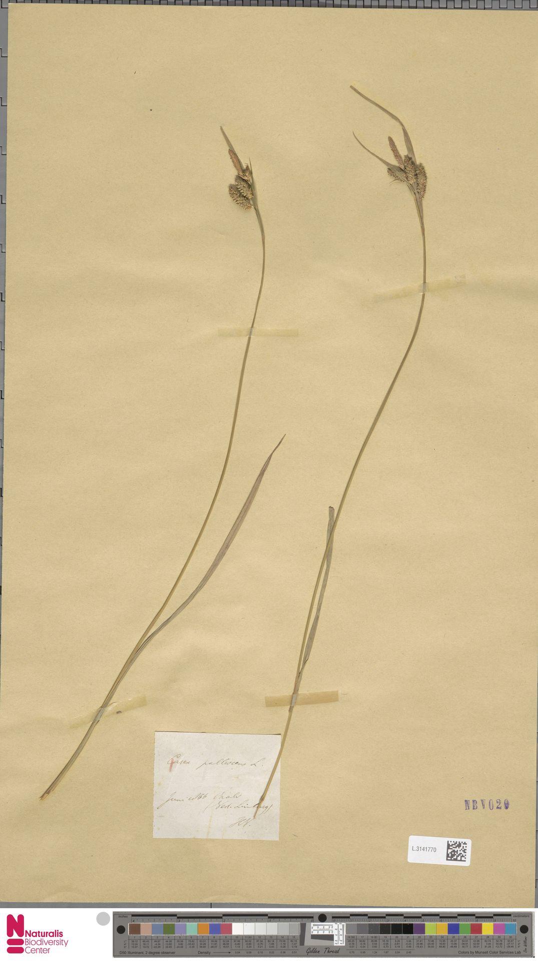 L.3141770 | Carex pallescens L.