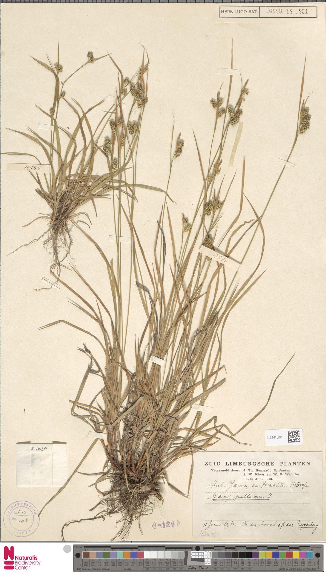 L.3141802   Carex pallescens L.