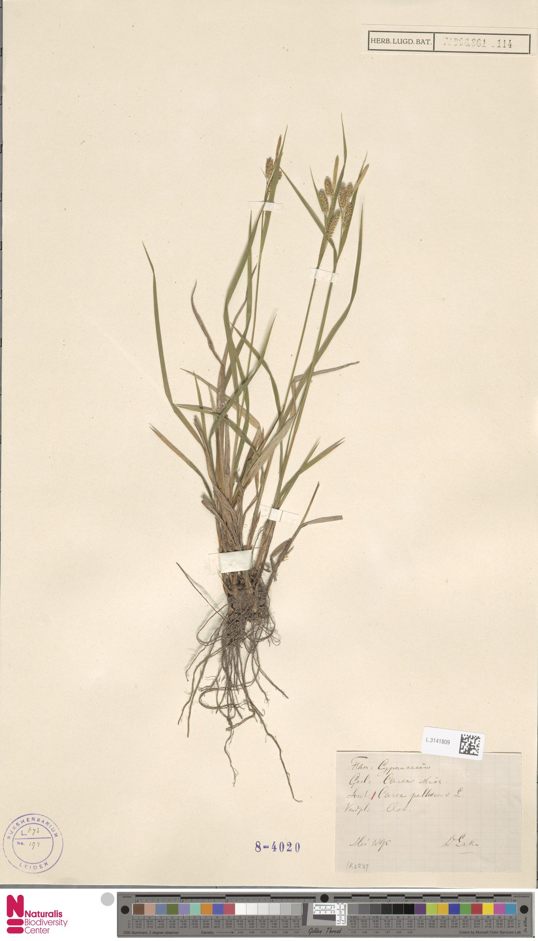 L.3141809   Carex pallescens L.
