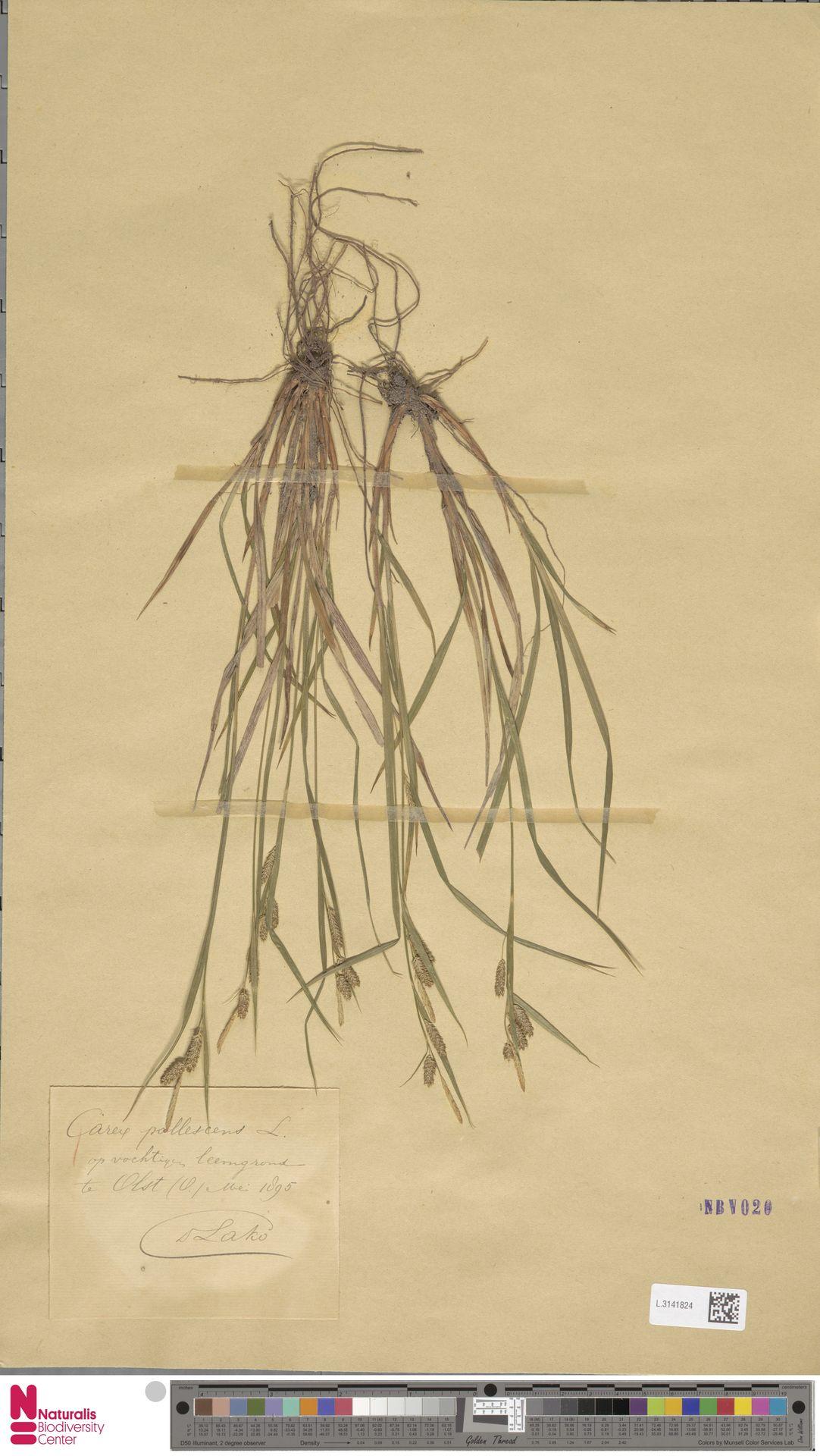 L.3141824 | Carex pallescens L.