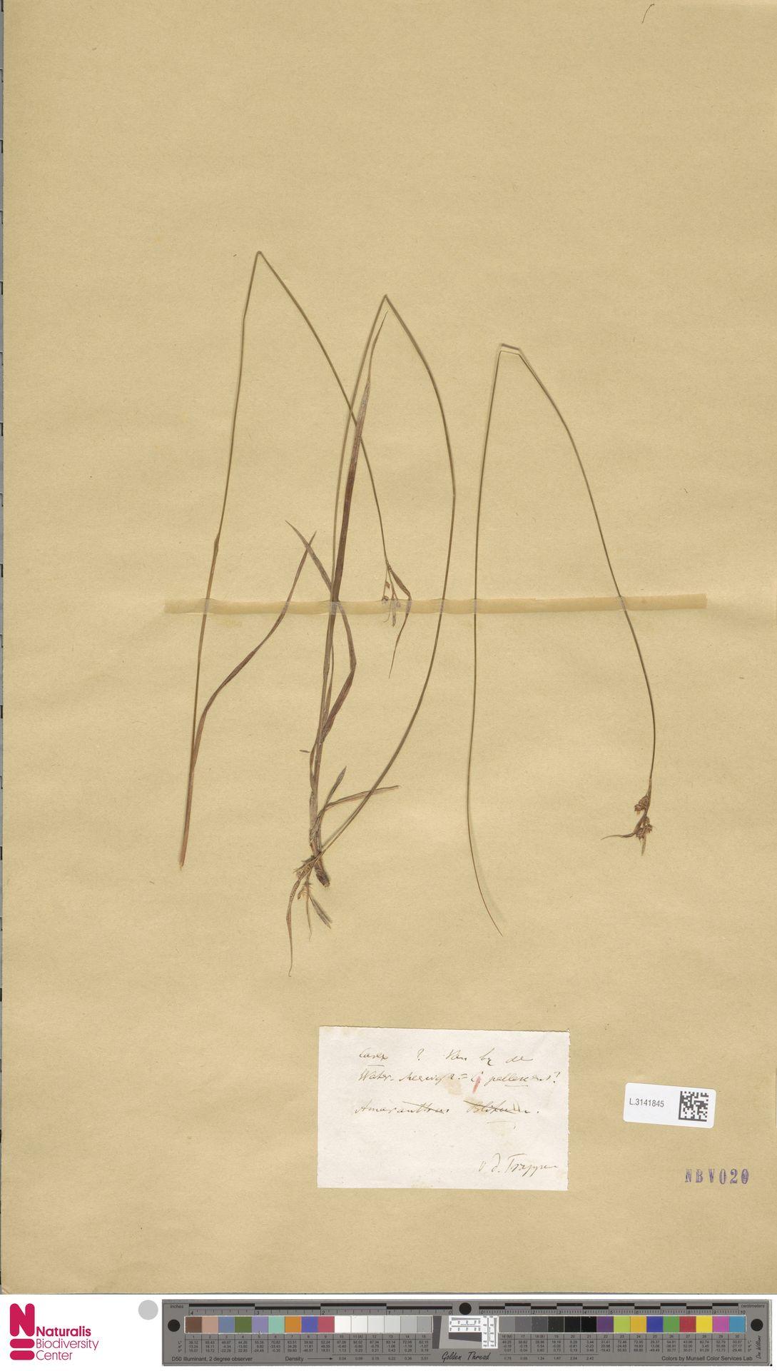 L.3141845 | Carex pallescens L.