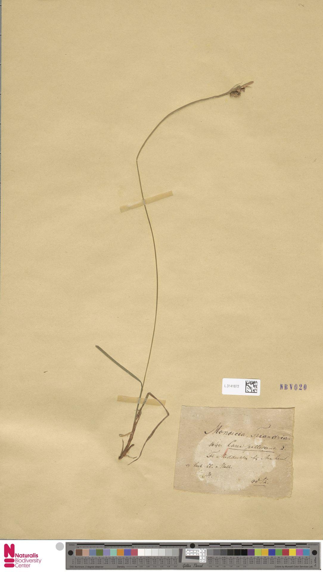 L.3141872 | Carex pallescens L.