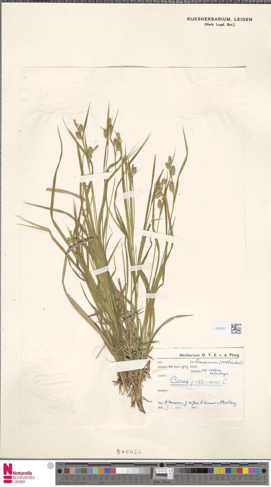L.3141917 | Carex pallescens L.