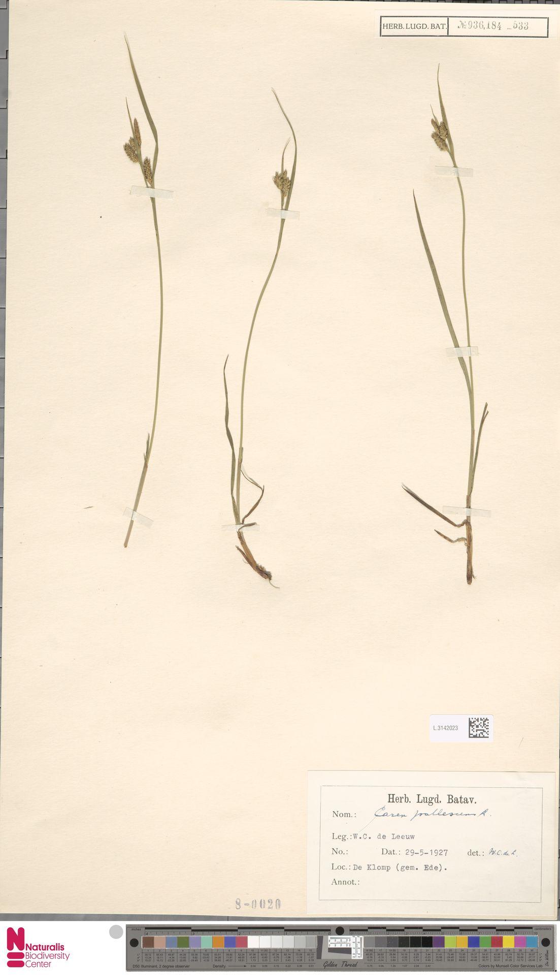 L.3142023   Carex pallescens L.