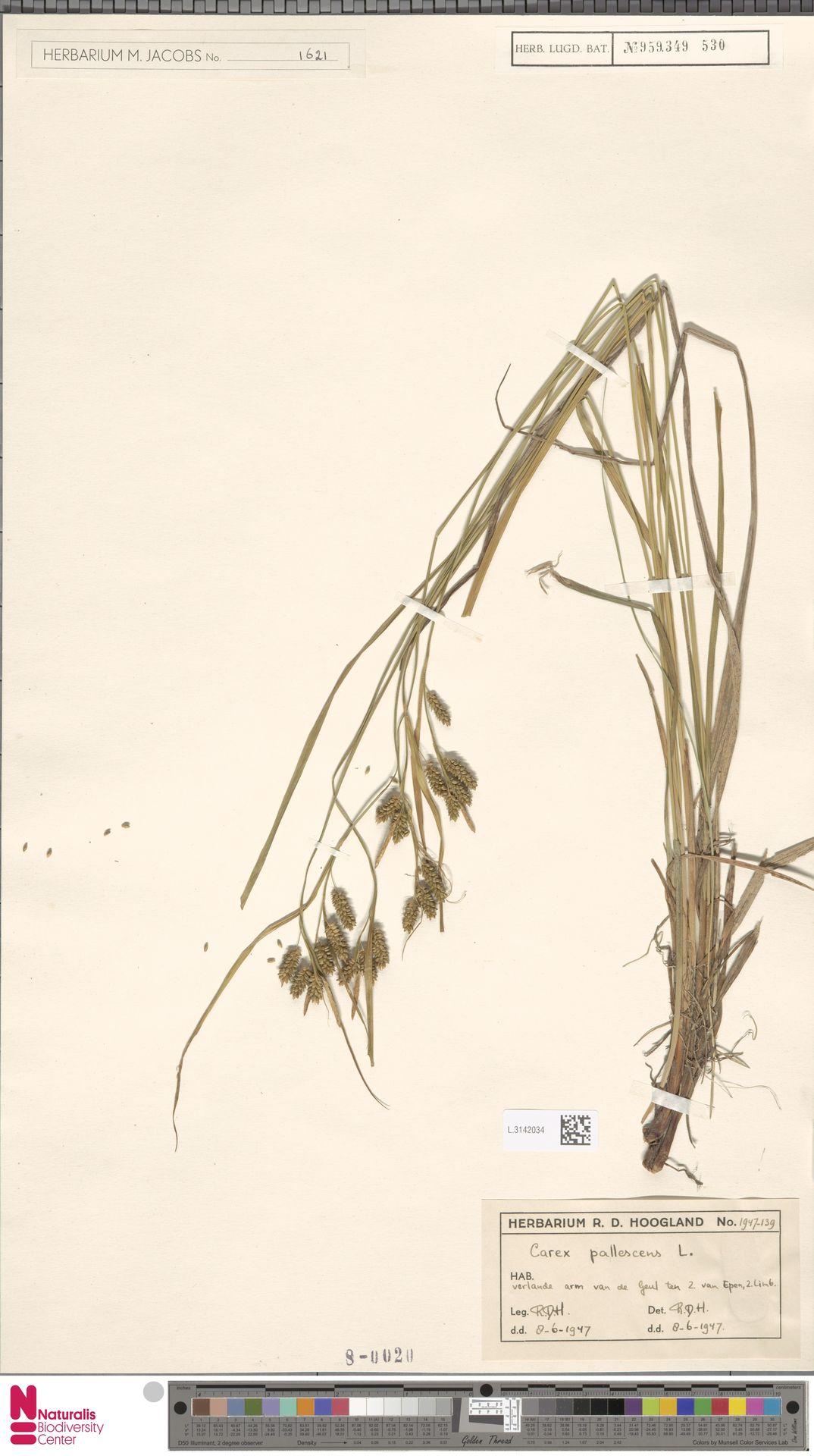L.3142034 | Carex pallescens L.