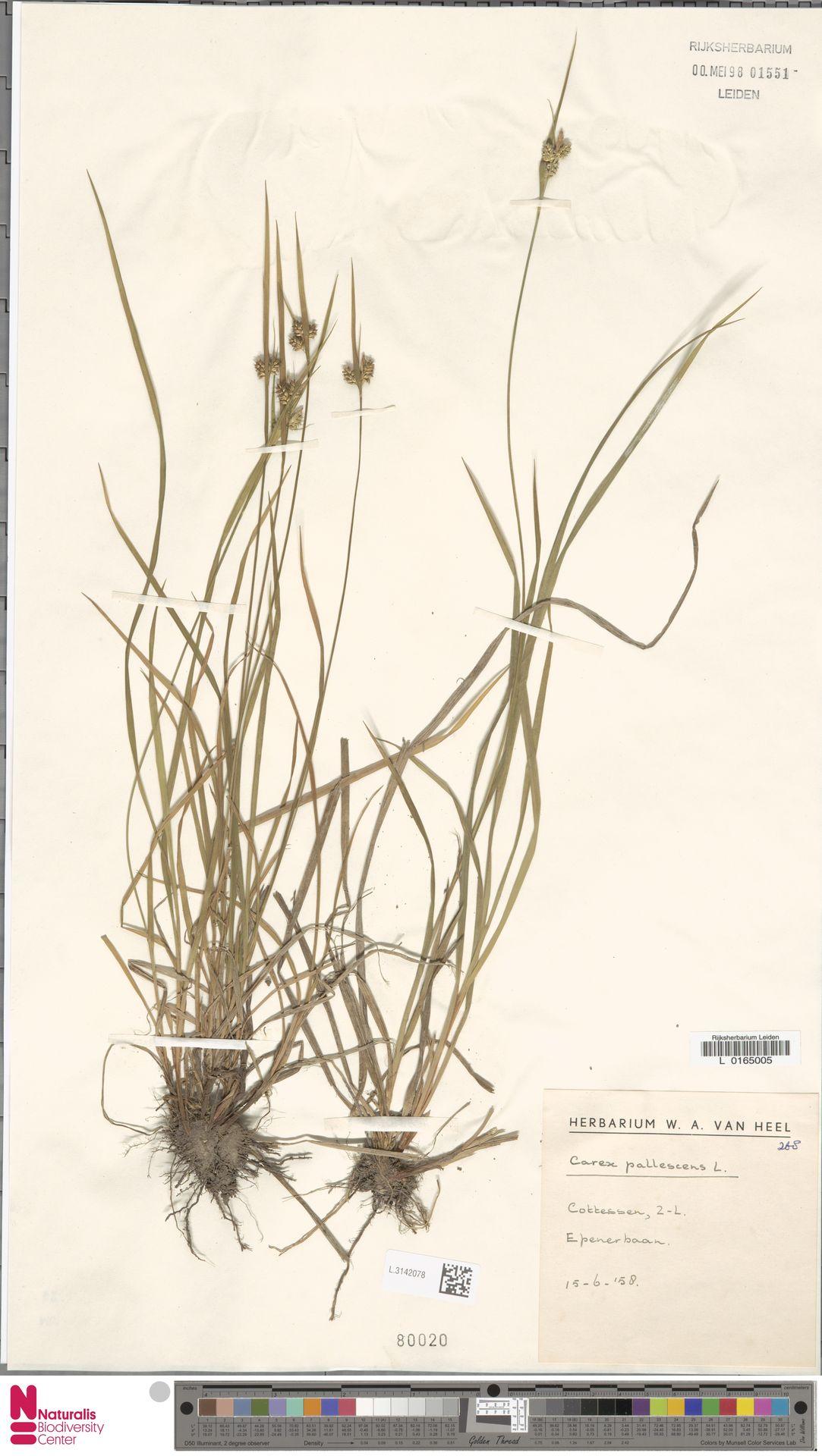 L.3142078 | Carex pallescens L.