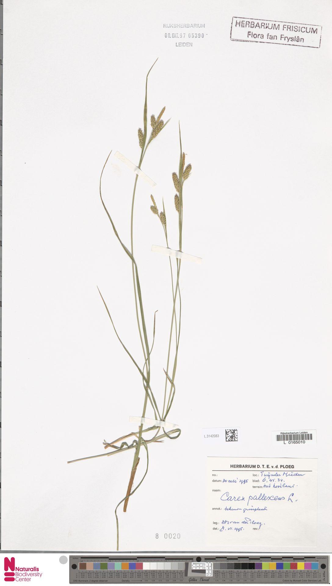 L.3142083 | Carex pallescens L.