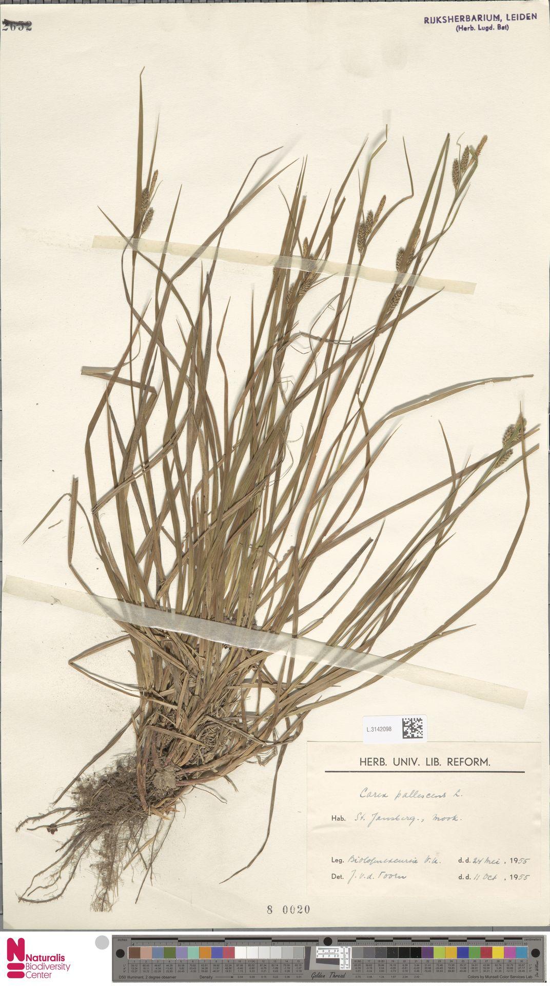 L.3142098 | Carex pallescens L.