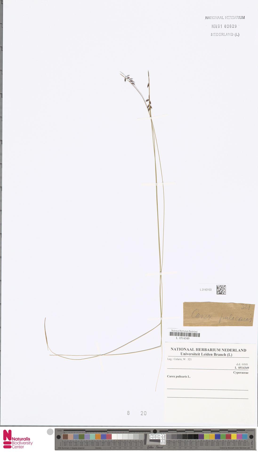 L.3143103 | Carex pulicaris L.