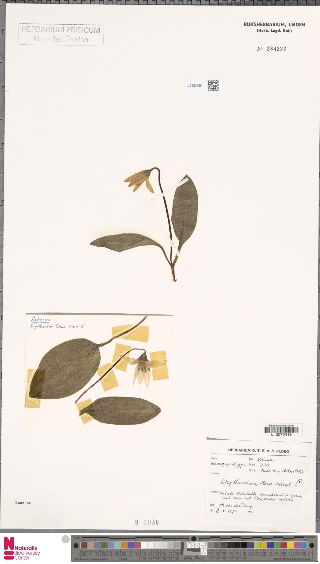 L.3150609   Erythronium dens-canis L.