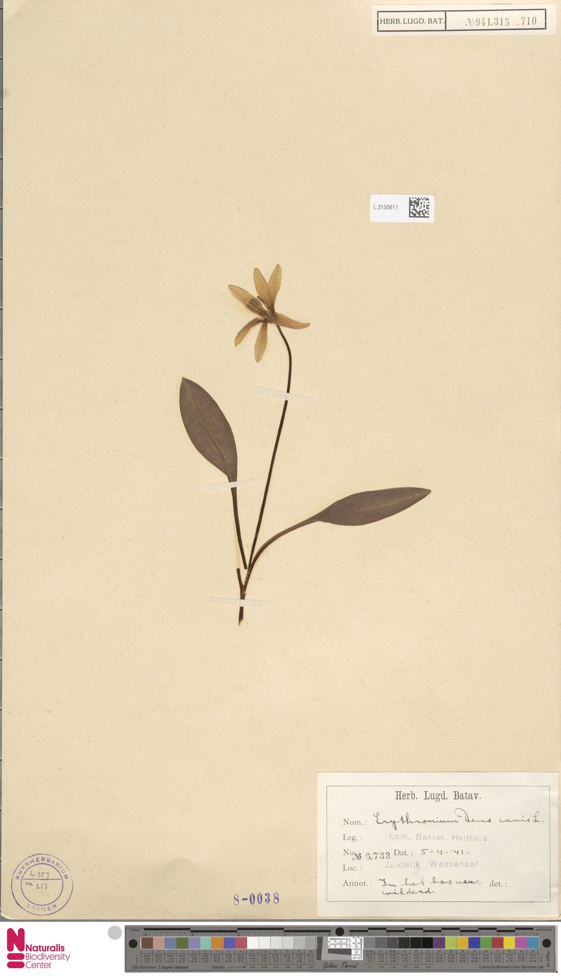 L.3150611 | Erythronium dens-canis L.