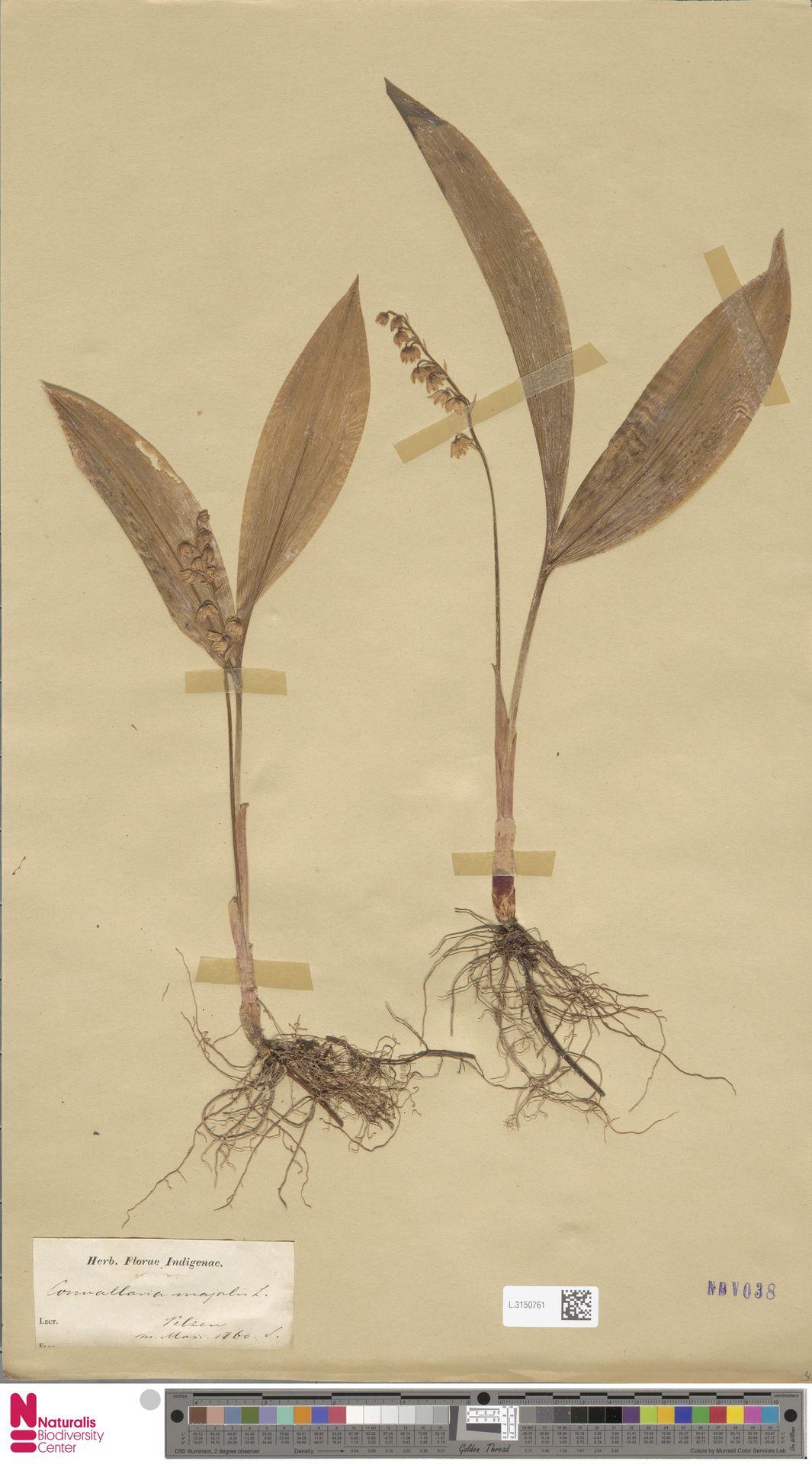 L.3150761 | Convallaria majalis L.