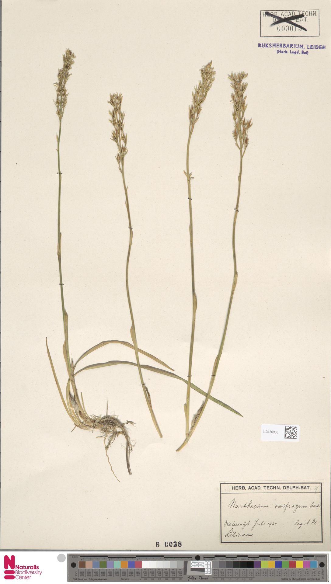 L.3150950   Narthecium ossifragum (L.) Huds.