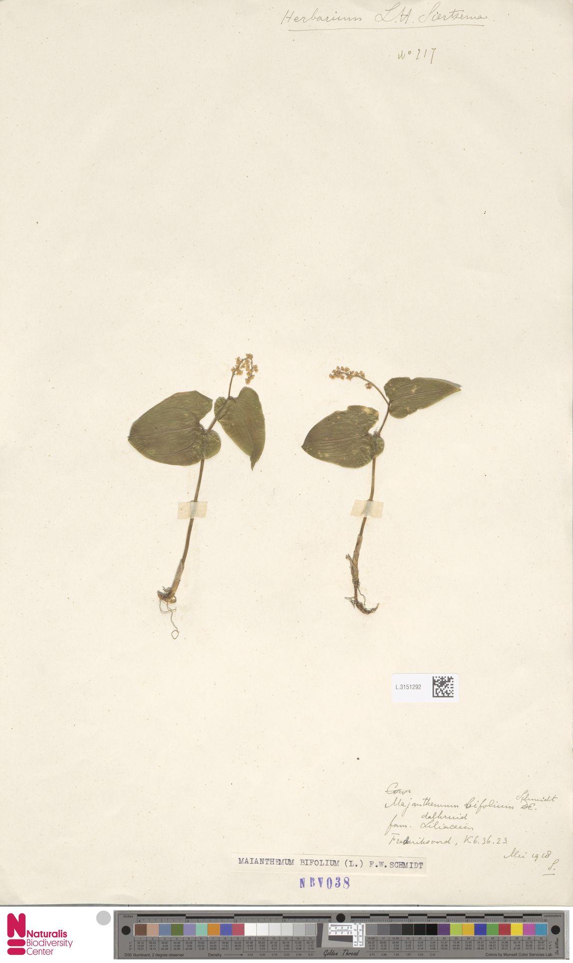 L.3151292 | Maianthemum bifolium (L.) F.W.Schmidt