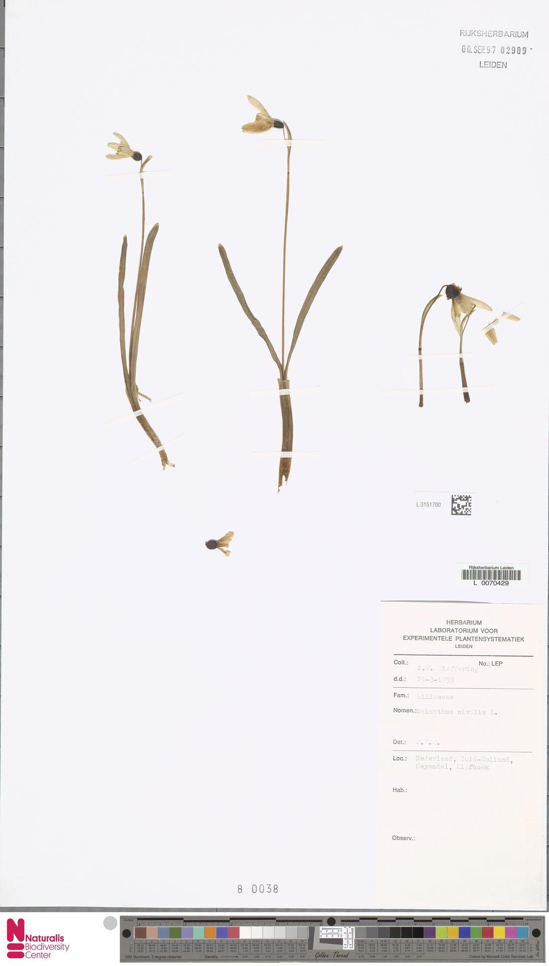L.3151700 | Galanthus nivalis L.