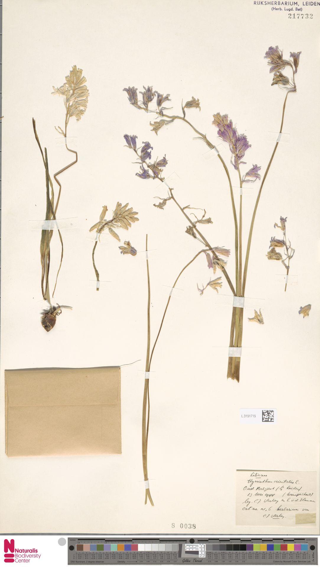 L.3151715 | Hyacinthus orientalis L.