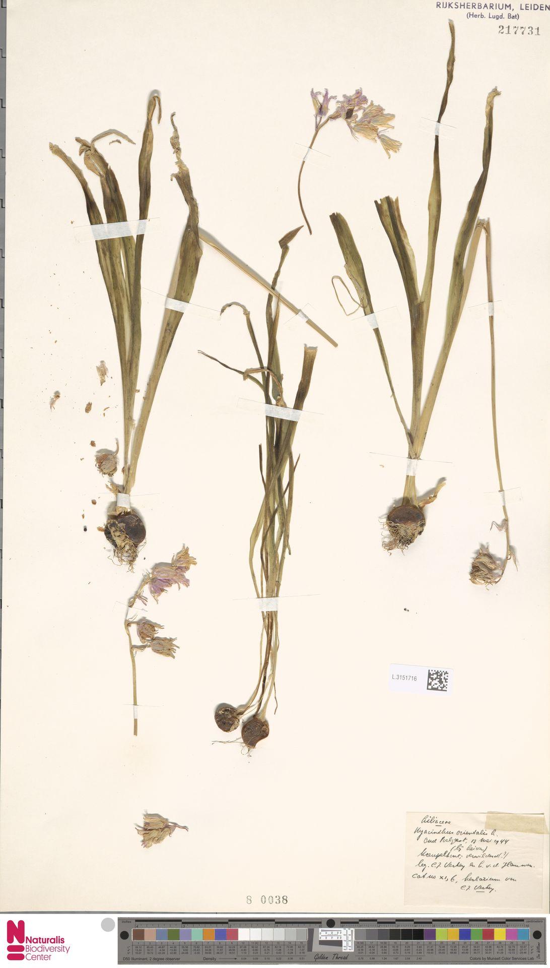 L.3151716 | Hyacinthus orientalis L.