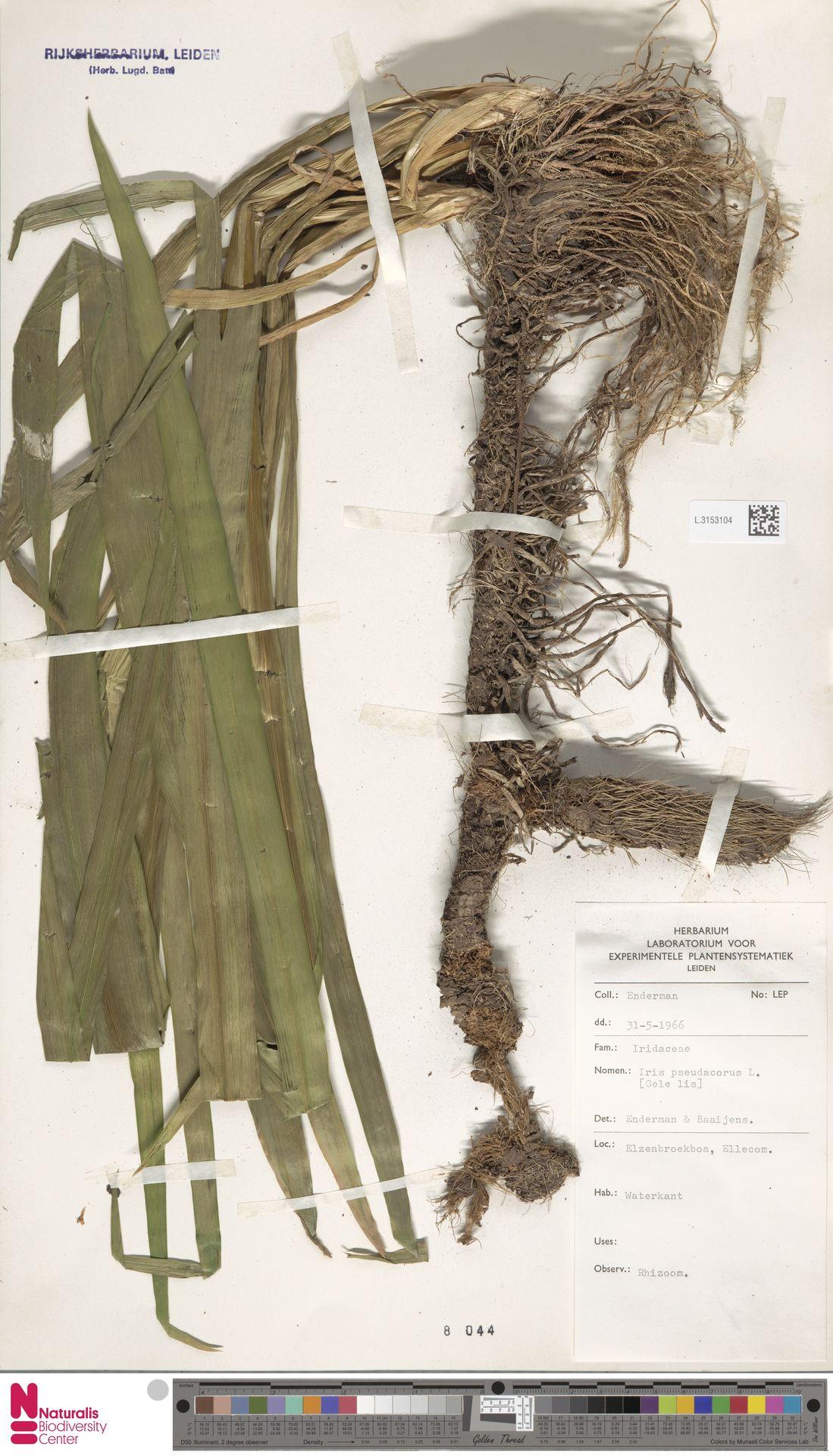 L.3153104 | Iris pseudacorus L.