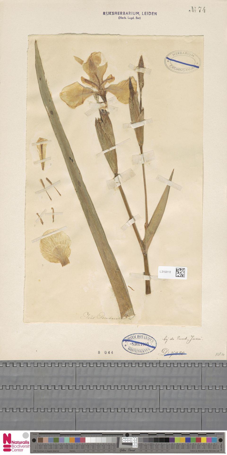 L.3153112 | Iris pseudacorus L.
