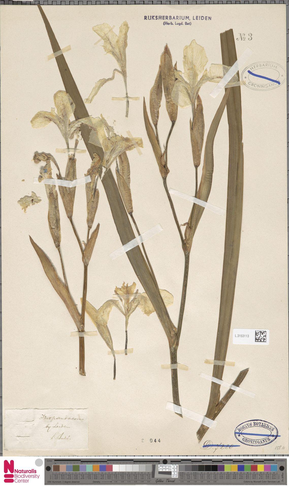 L.3153113   Iris pseudacorus L.