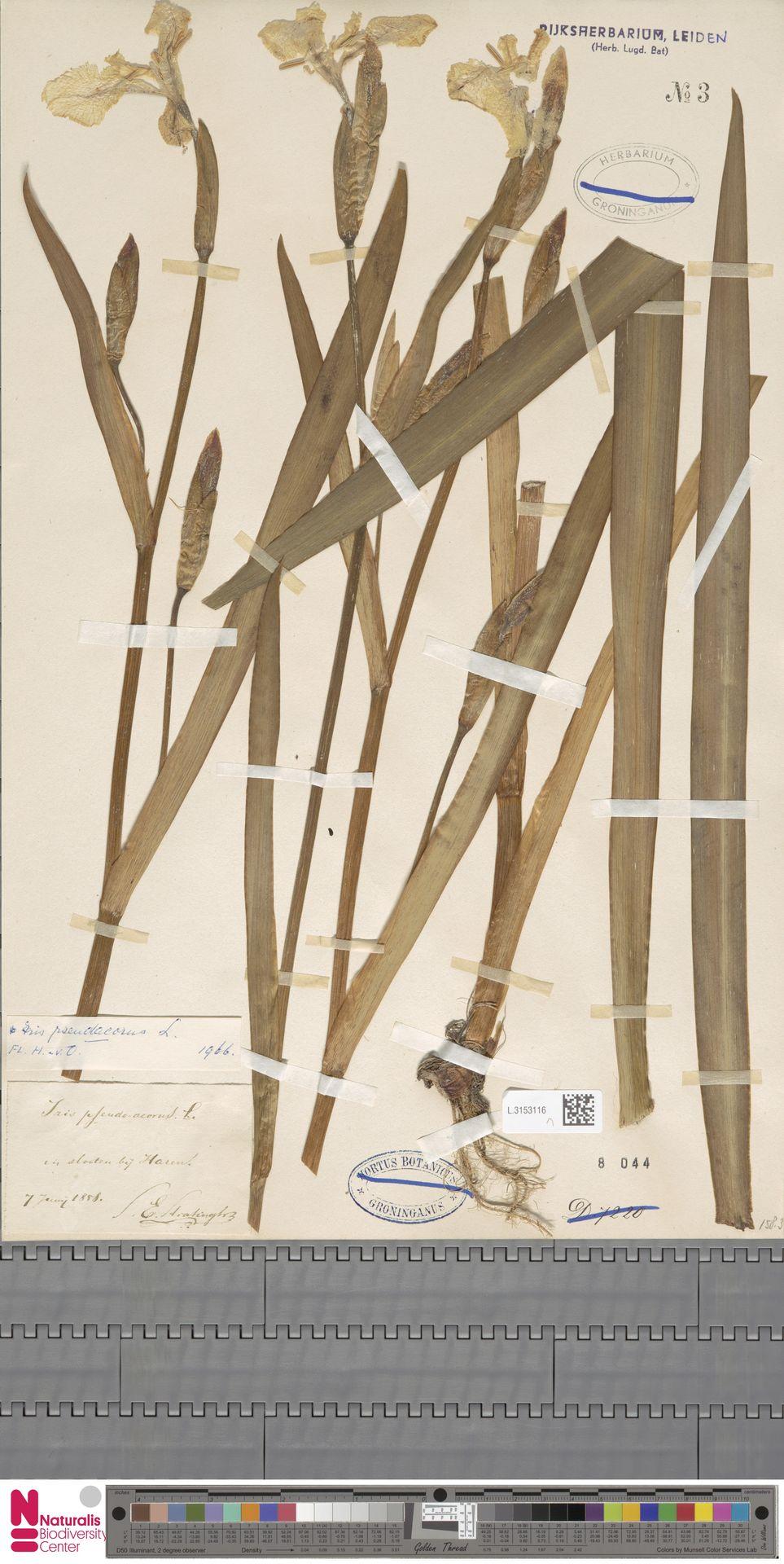 L.3153116 | Iris pseudacorus L.