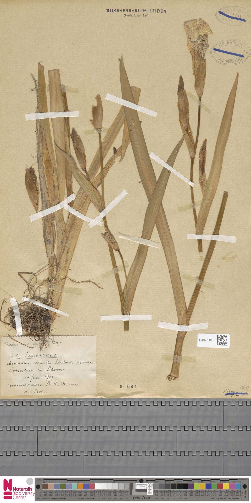 L.3153118 | Iris pseudacorus L.