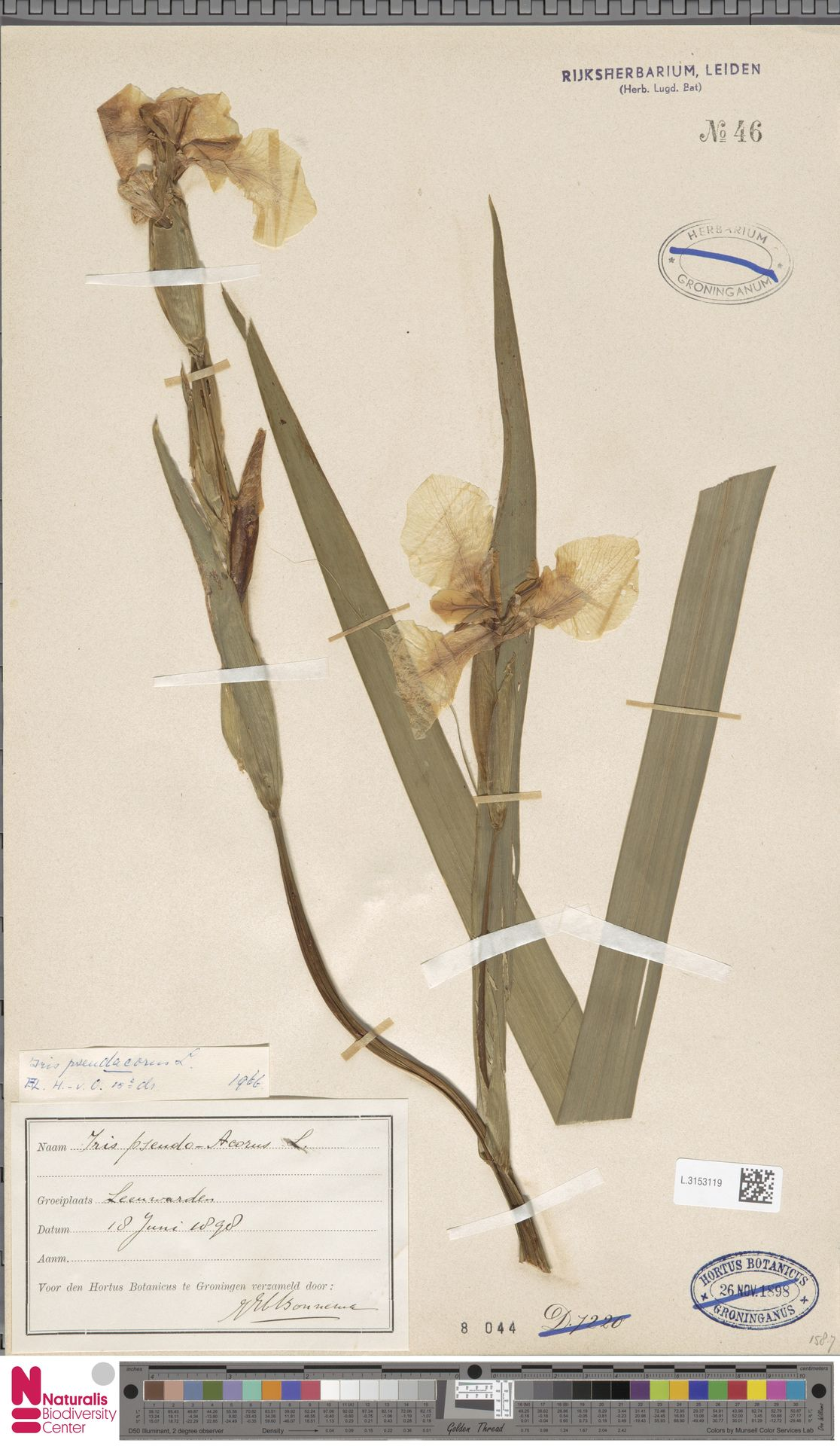 L.3153119 | Iris pseudacorus L.