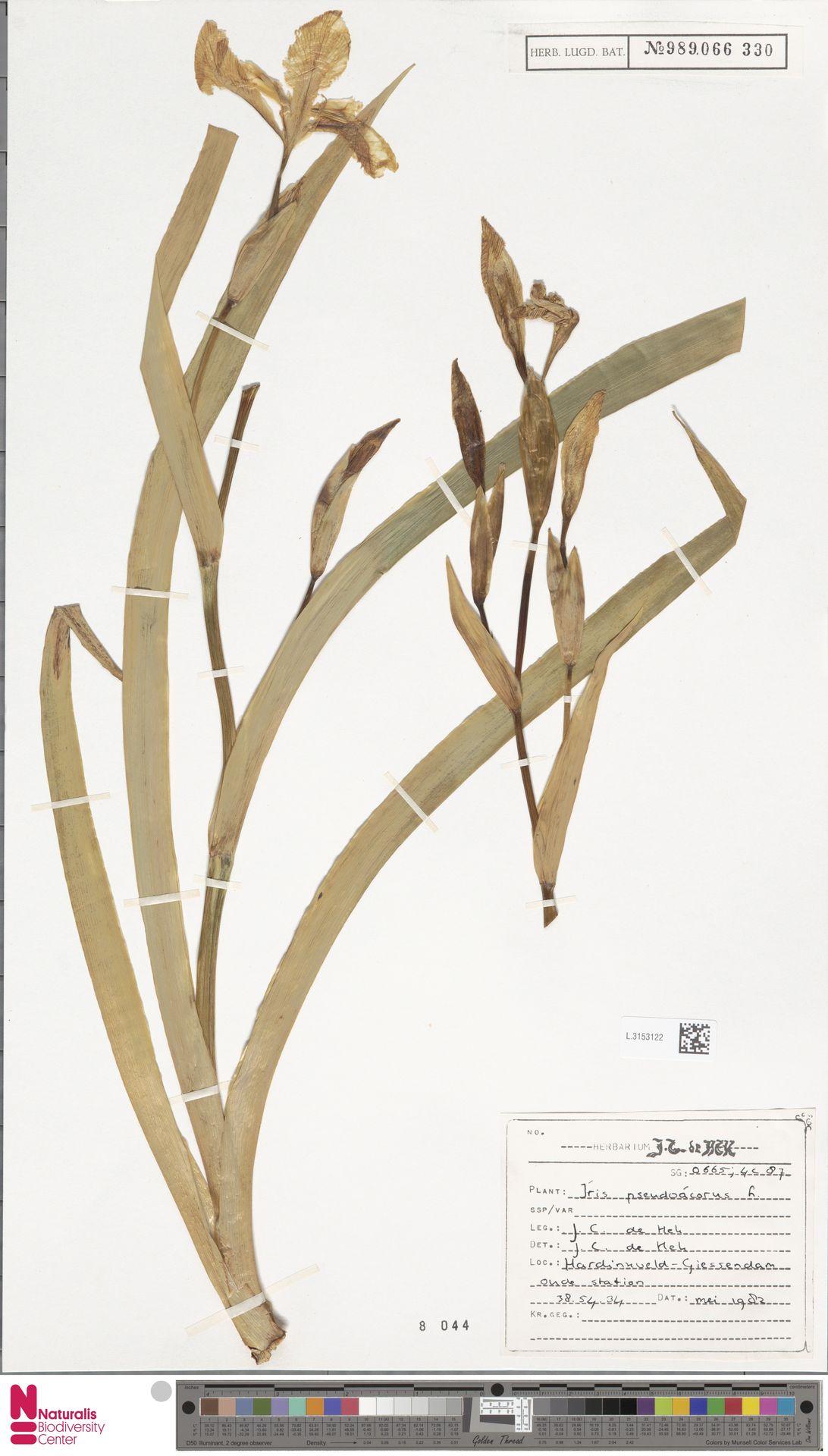 L.3153122 | Iris pseudacorus L.