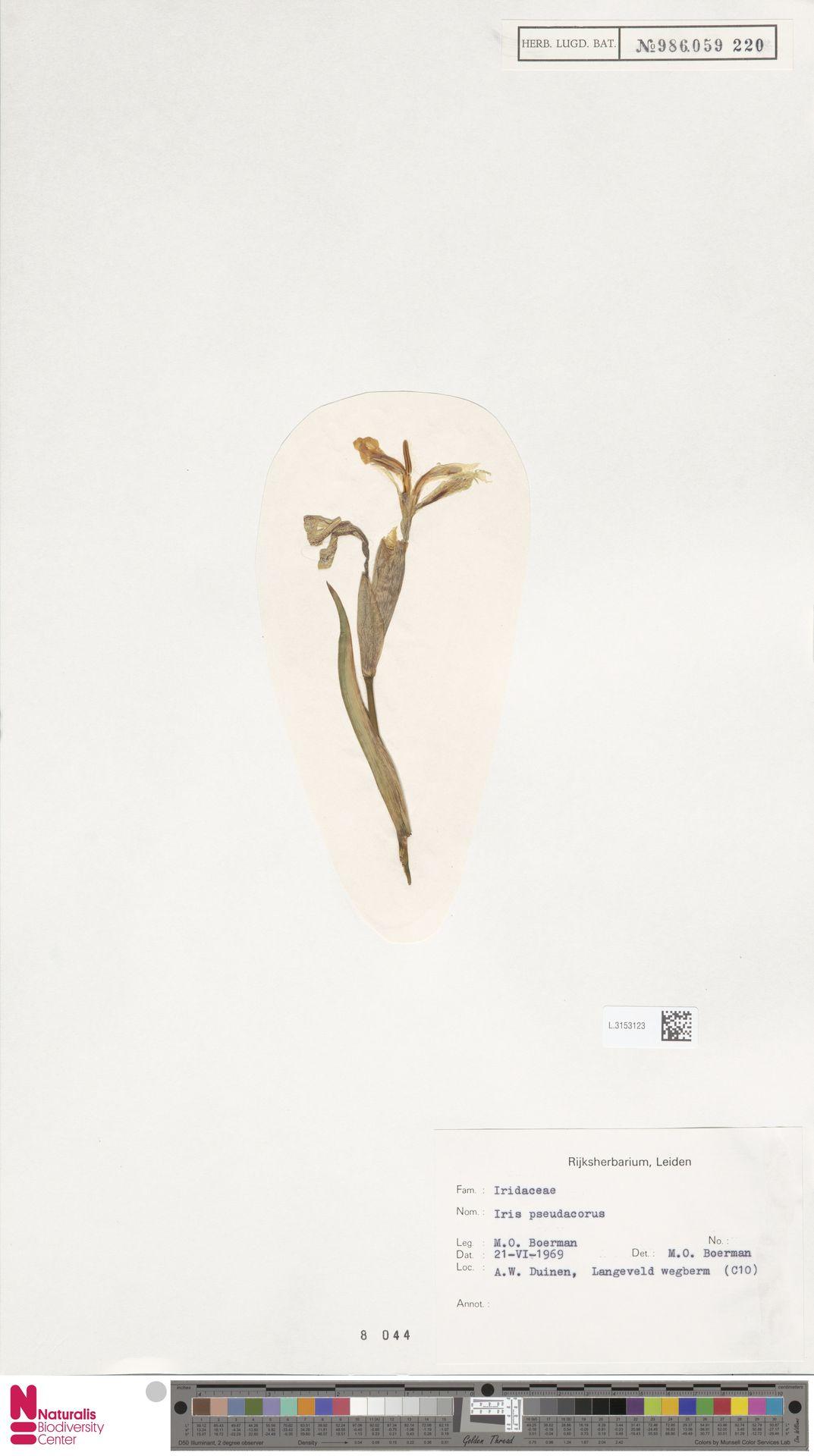 L.3153123 | Iris pseudacorus L.