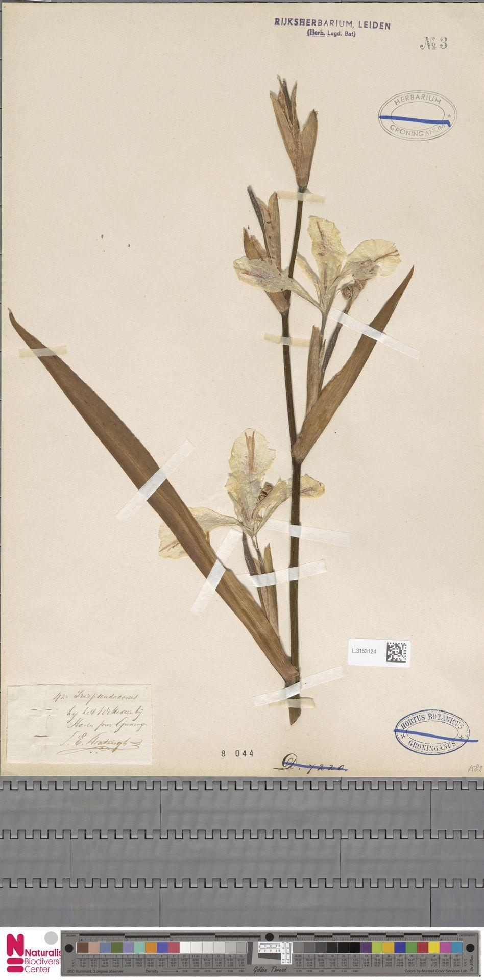 L.3153124 | Iris pseudacorus L.