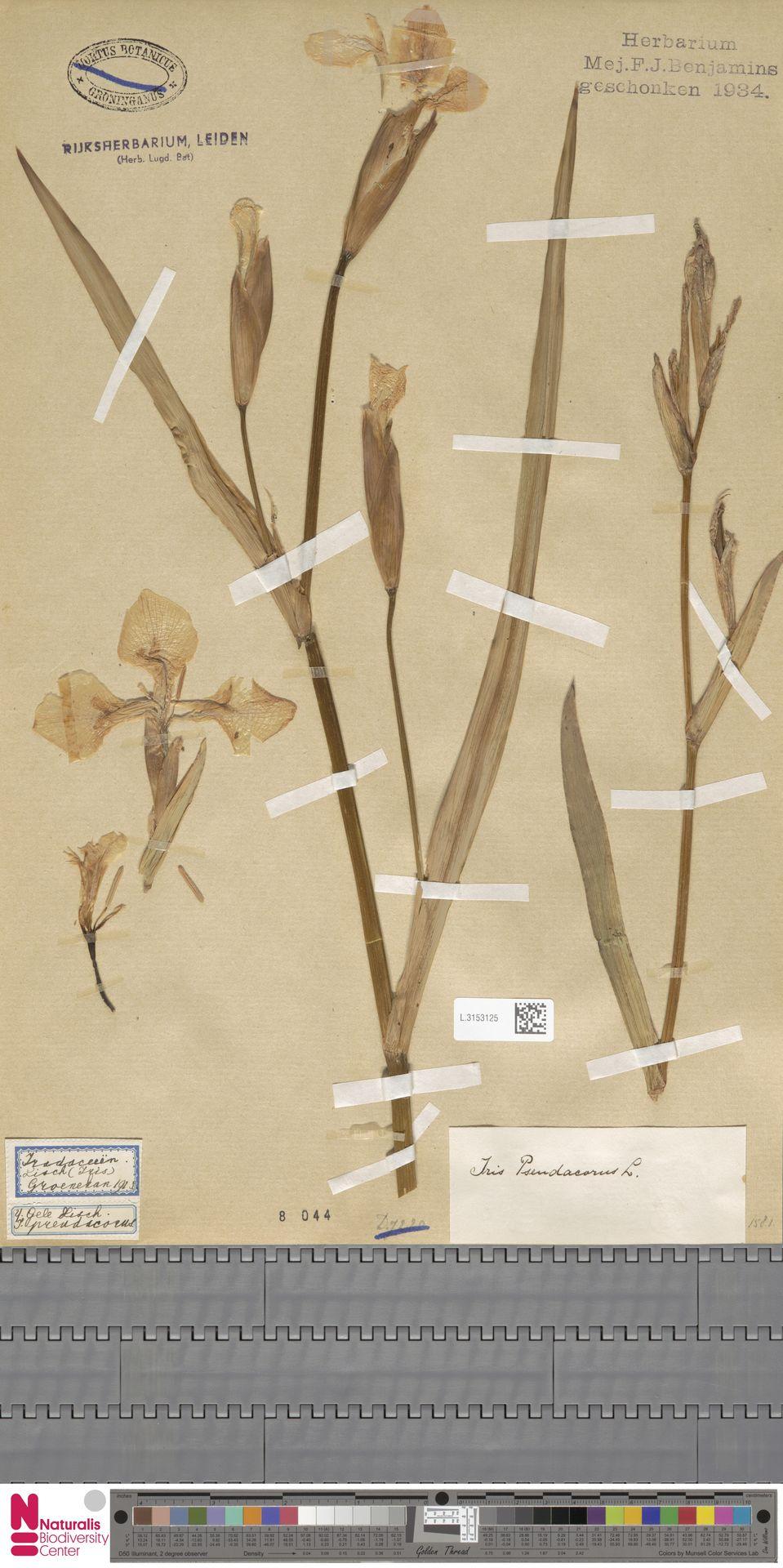 L.3153125 | Iris pseudacorus L.