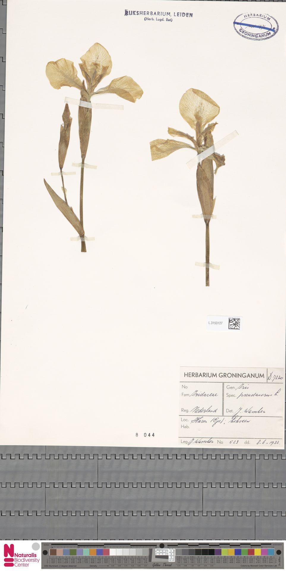 L.3153127 | Iris pseudacorus L.