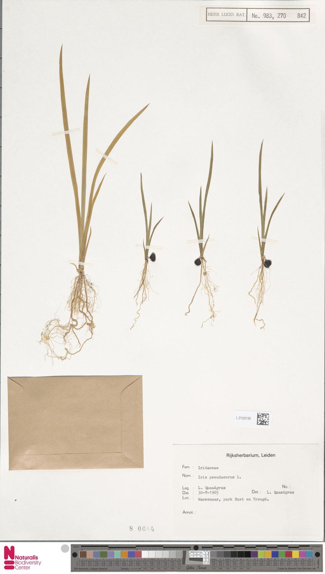 L.3153130 | Iris pseudacorus L.
