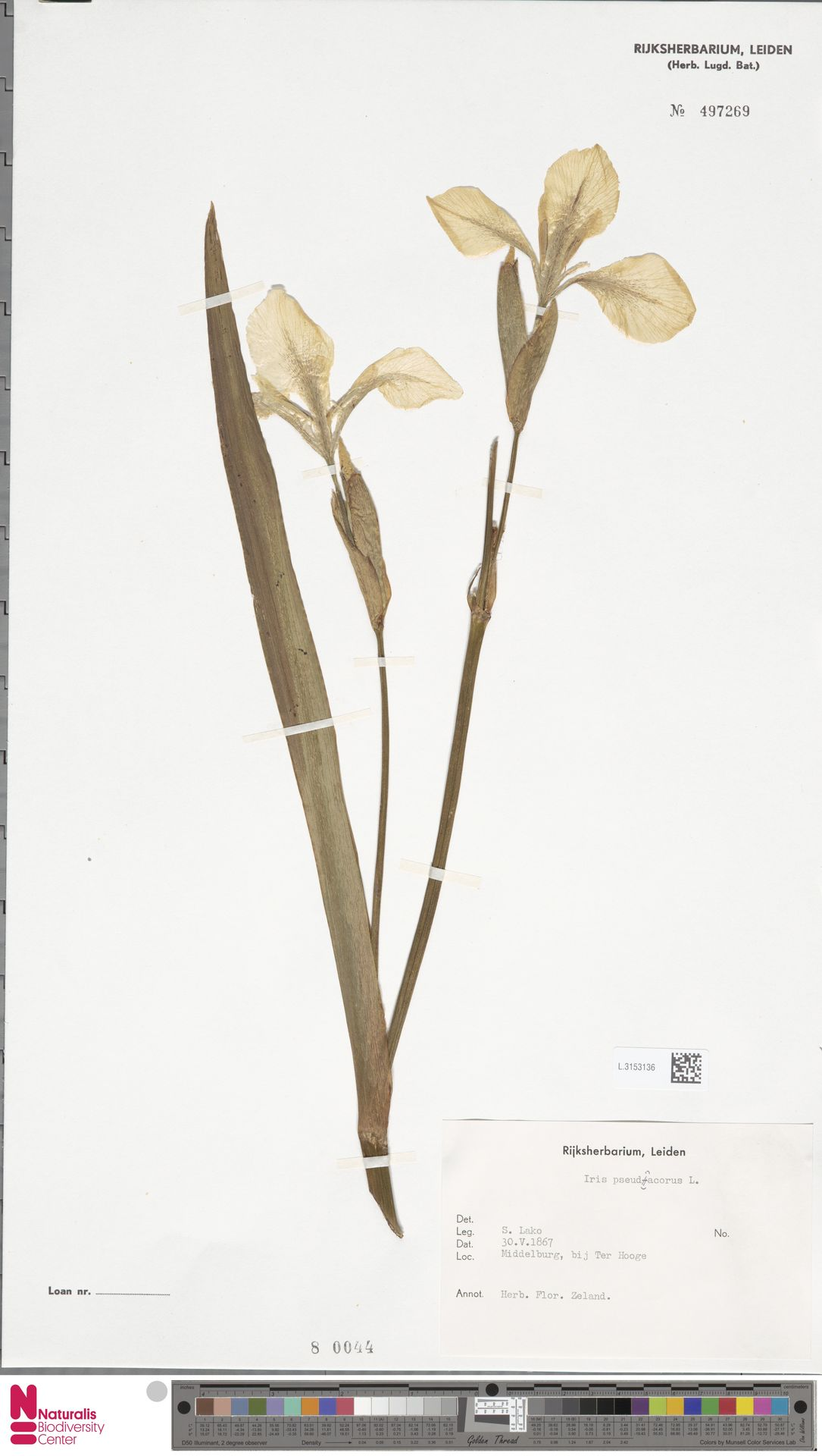 L.3153136 | Iris pseudacorus L.