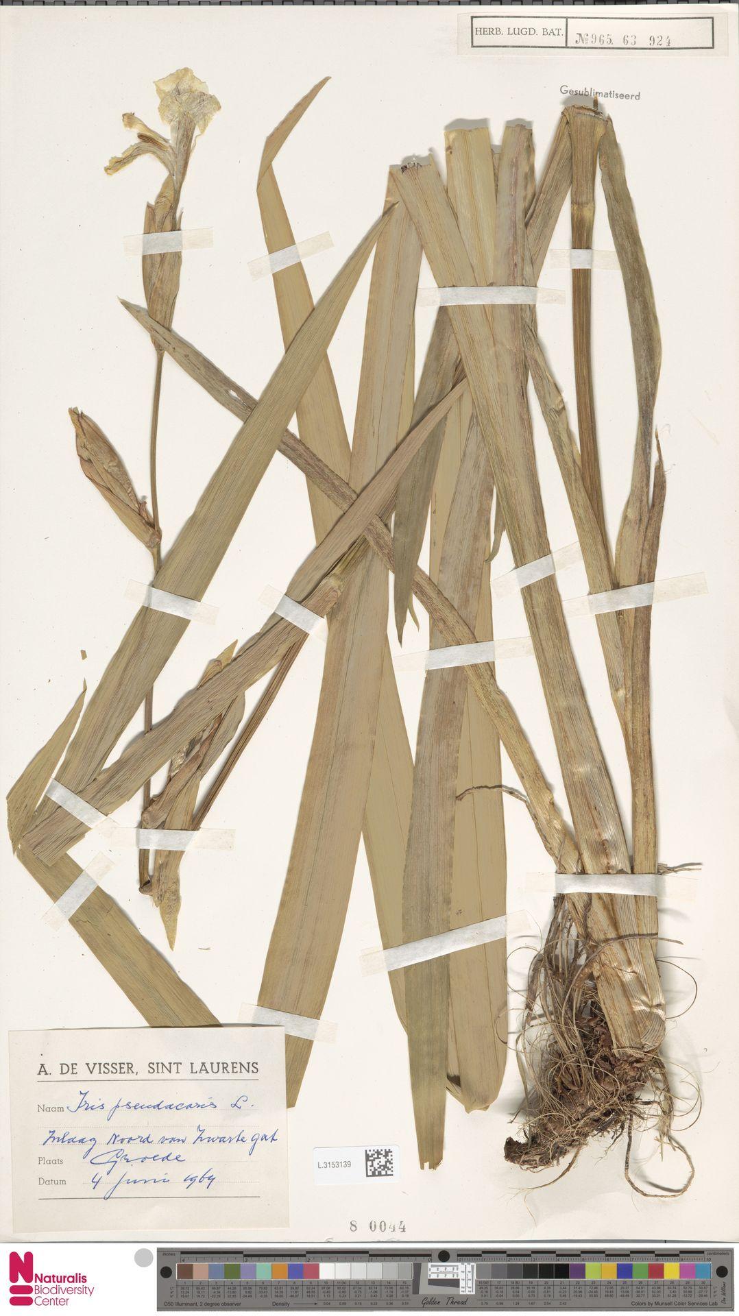 L.3153139 | Iris pseudacorus L.