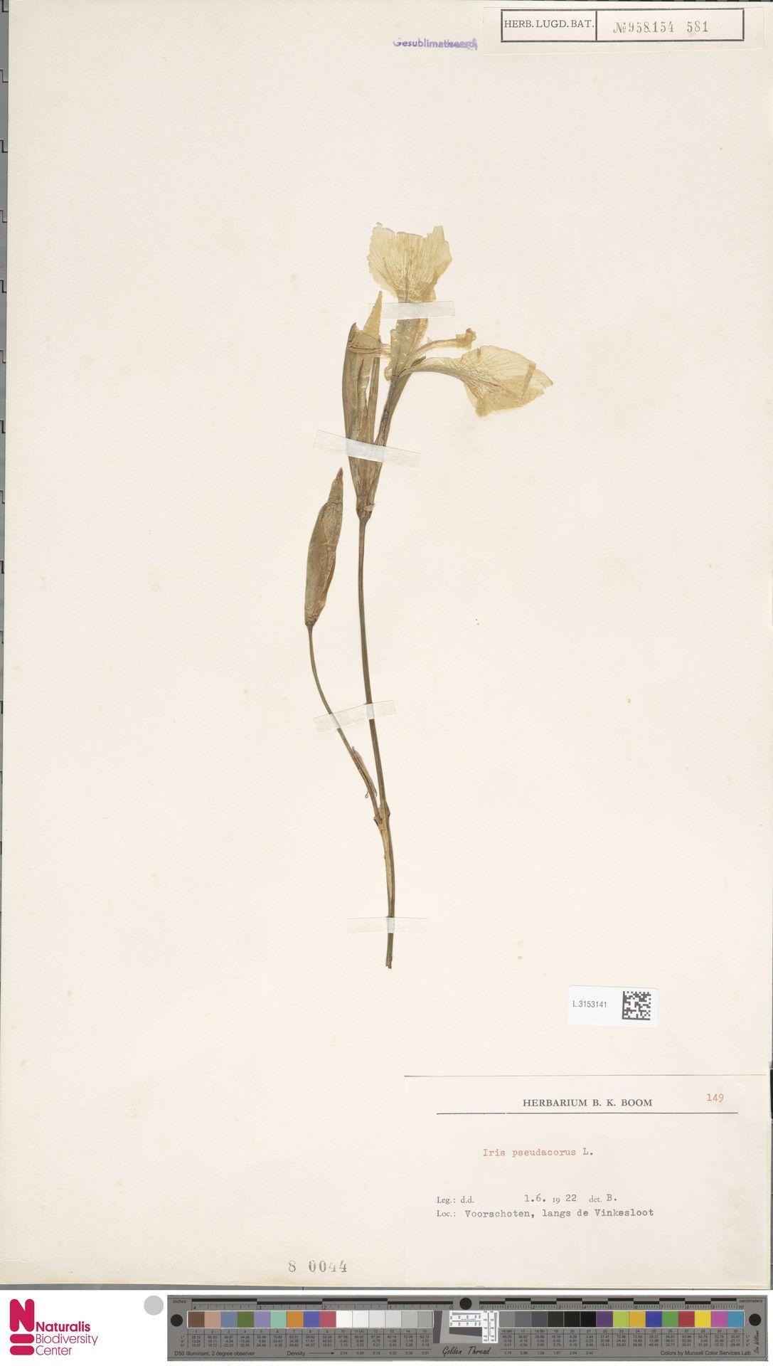 L.3153141 | Iris pseudacorus L.