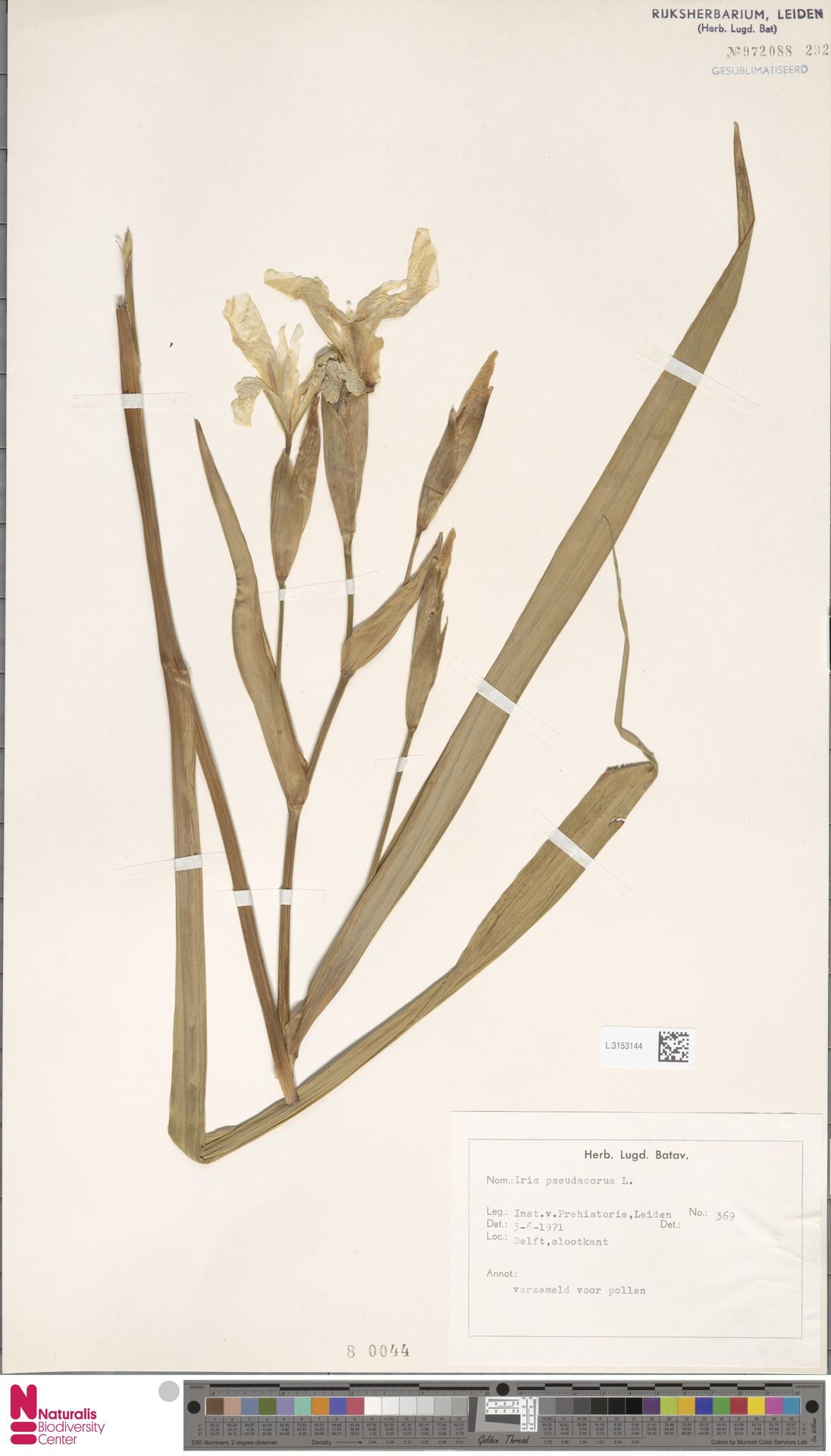 L.3153144   Iris pseudacorus L.